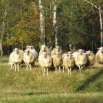 Jak zachowują się owce…? – czy ktoś jeszcze wie? [dziennik nr 1]